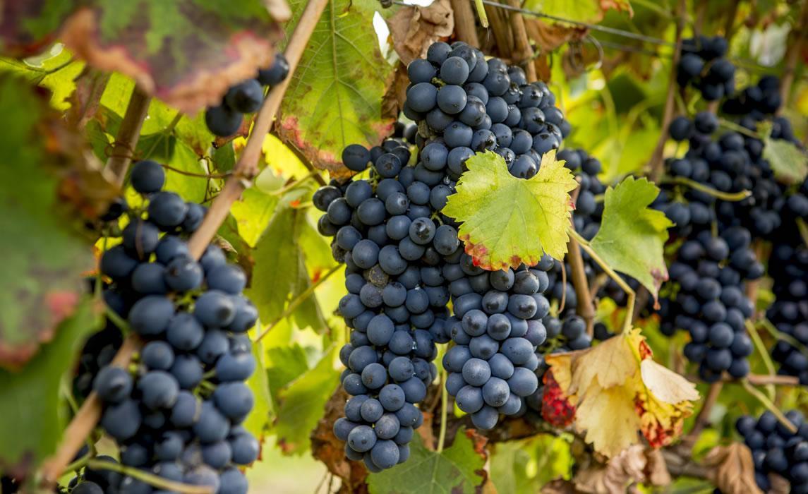 Le vignoble de Fronton