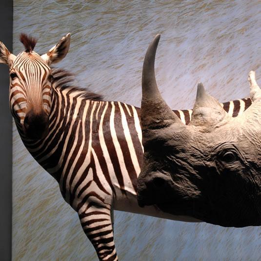 Zèbre et rhinocéros au Muséum de Toulouse